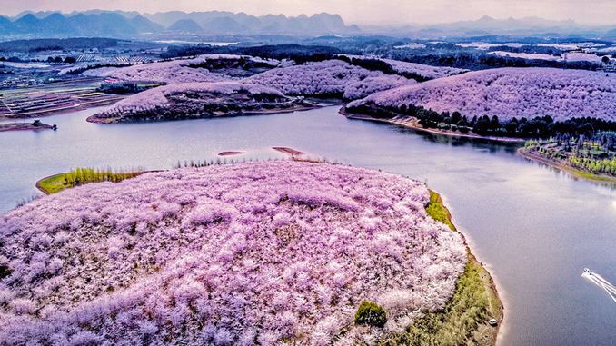 SAKURA BLOOMS AND OTHER FLOWERS ADORNING CHINA