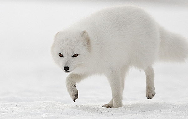BRING HOME AN ARCTIC FOX