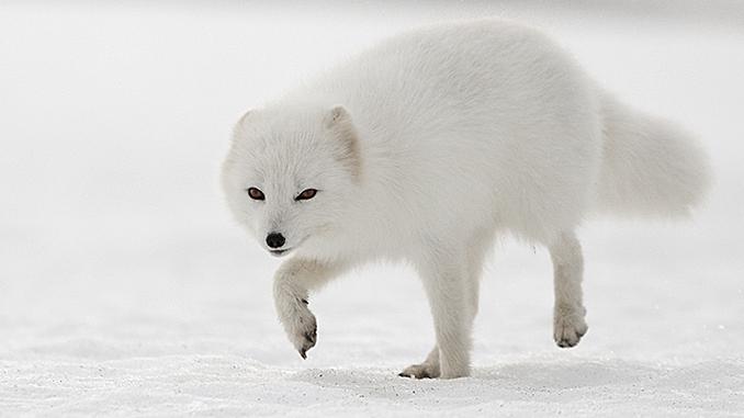 BRING HOME AN ARCTIC FOX