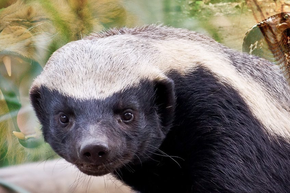 HONEY BADGER: THE WORLD'S MOST AGGRESSIVE ANIMAL