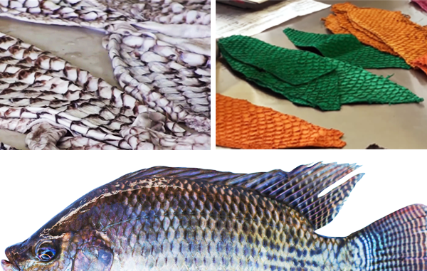 TILAPIA: FROM THE DINNER PLATE TO THE CATWALK