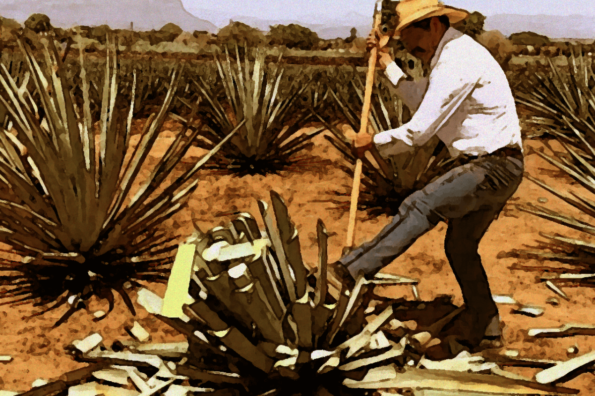 THE STEPS OF TEQUILA MAKING