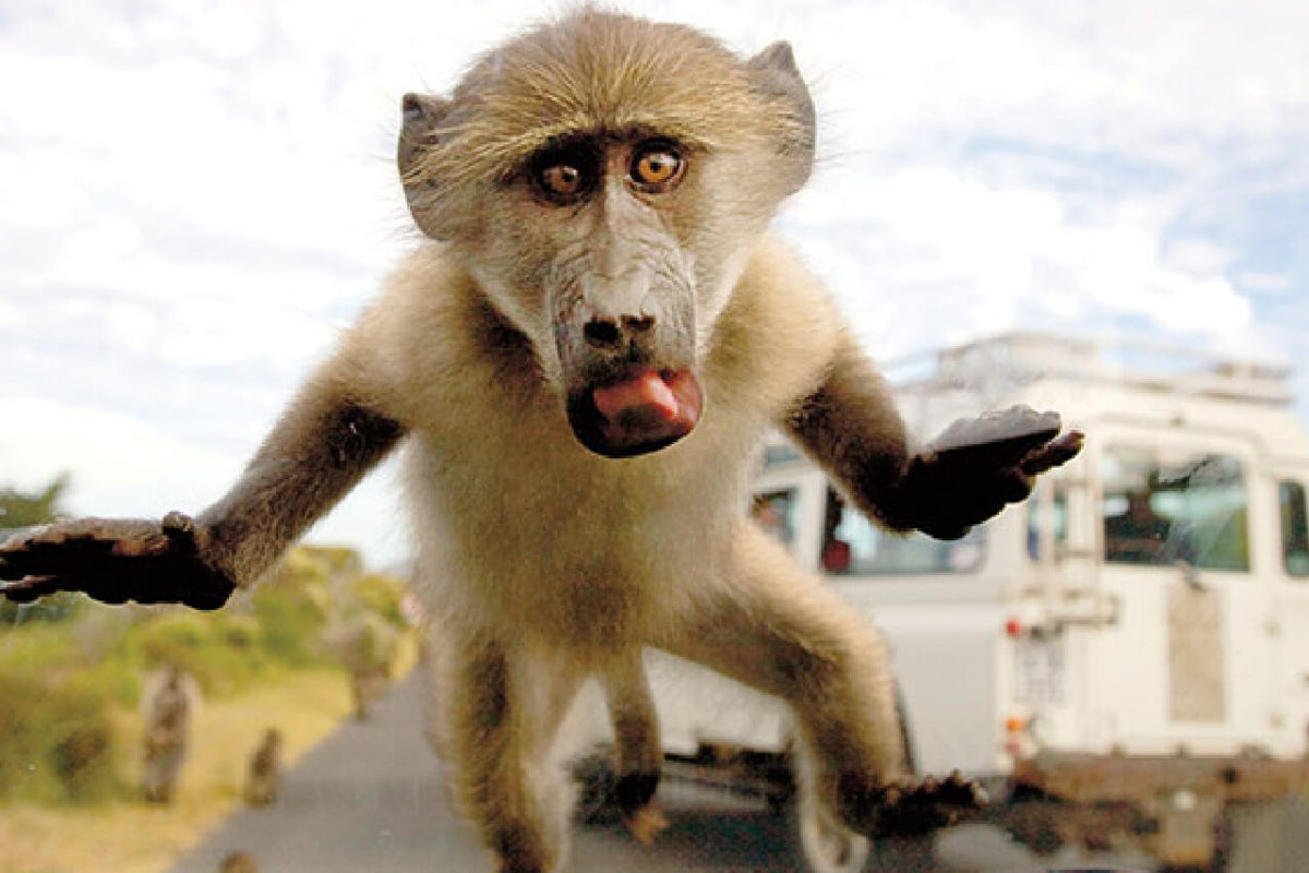 THE WILY BABOONS OF SOUTH AFRICA